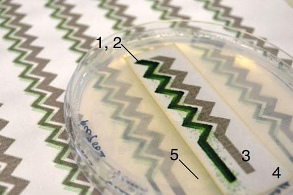 Создан фотоэлемент из водорослей